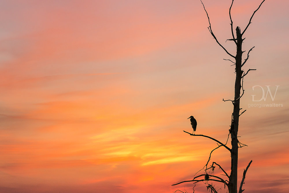 A heron watches the sunset from a dead tree.