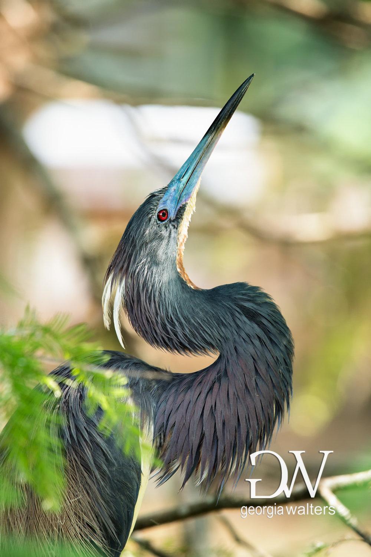 Tri-colored heron portrait.