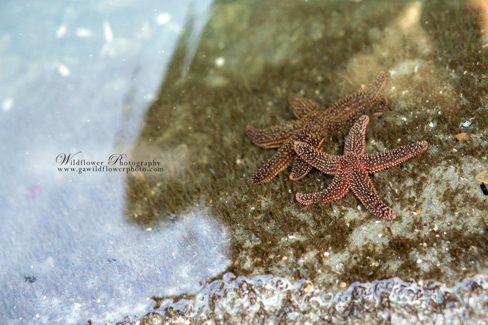 Two starfish in a tide pool on Tybee Island.