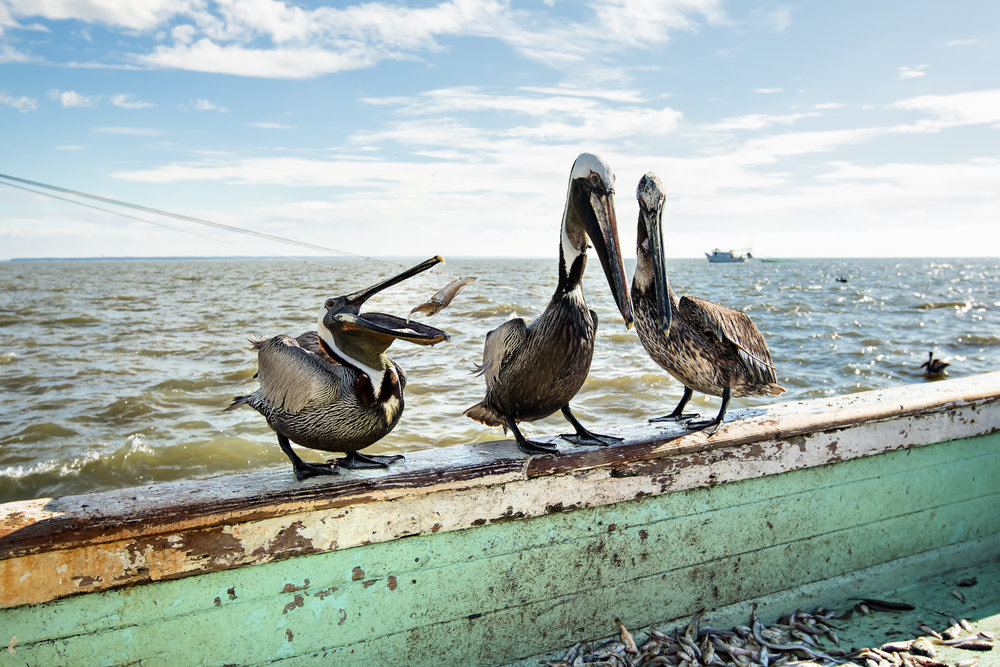 Pelicans steal squid on a shrimp boat off the coast of Tybee Island, GA.