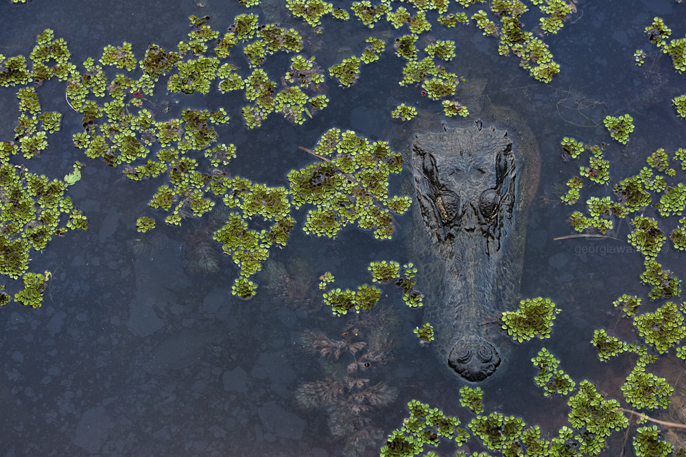 An alligator rests in the marsh.