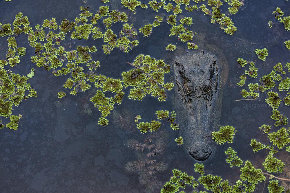 Alligator-3414.jpg