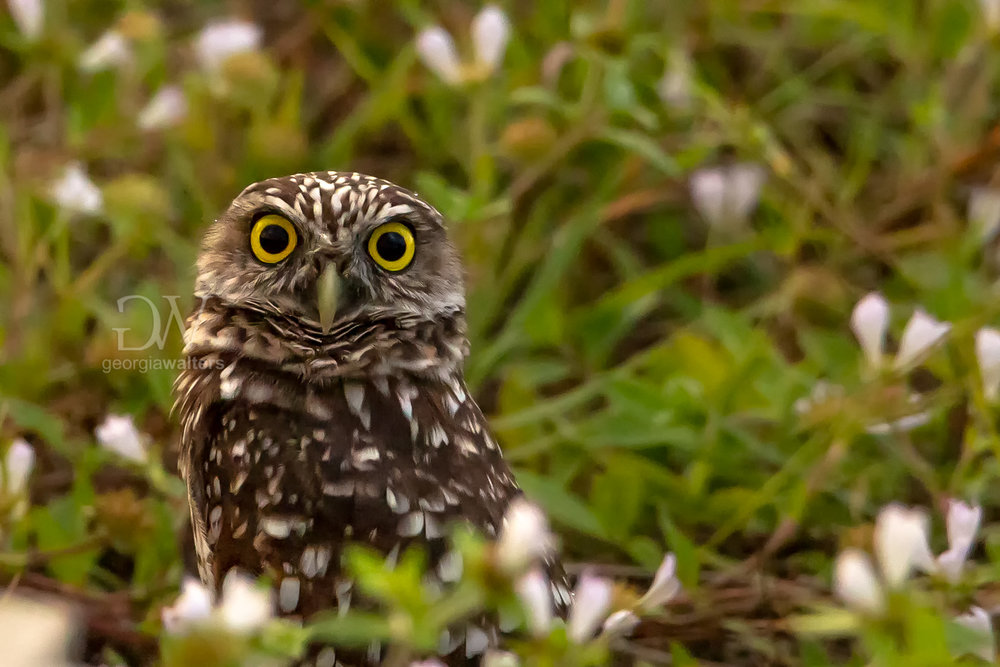 A burrowing owl stares wide eyed at the camera.