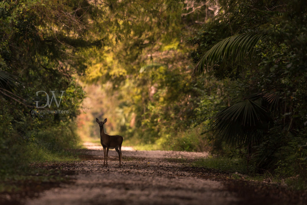 A doe stands in the middle of a trail on an early morning at the Fakahatchee Strand.