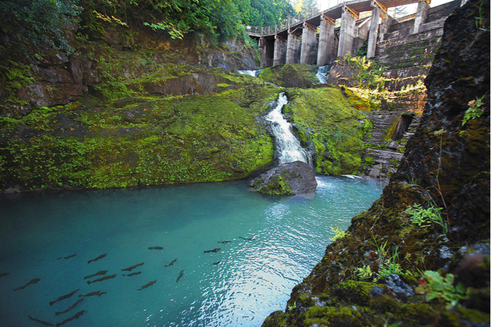 Coho salmon are blocked from migrating past the lower Elwha dam. Image from the Seattle Times.