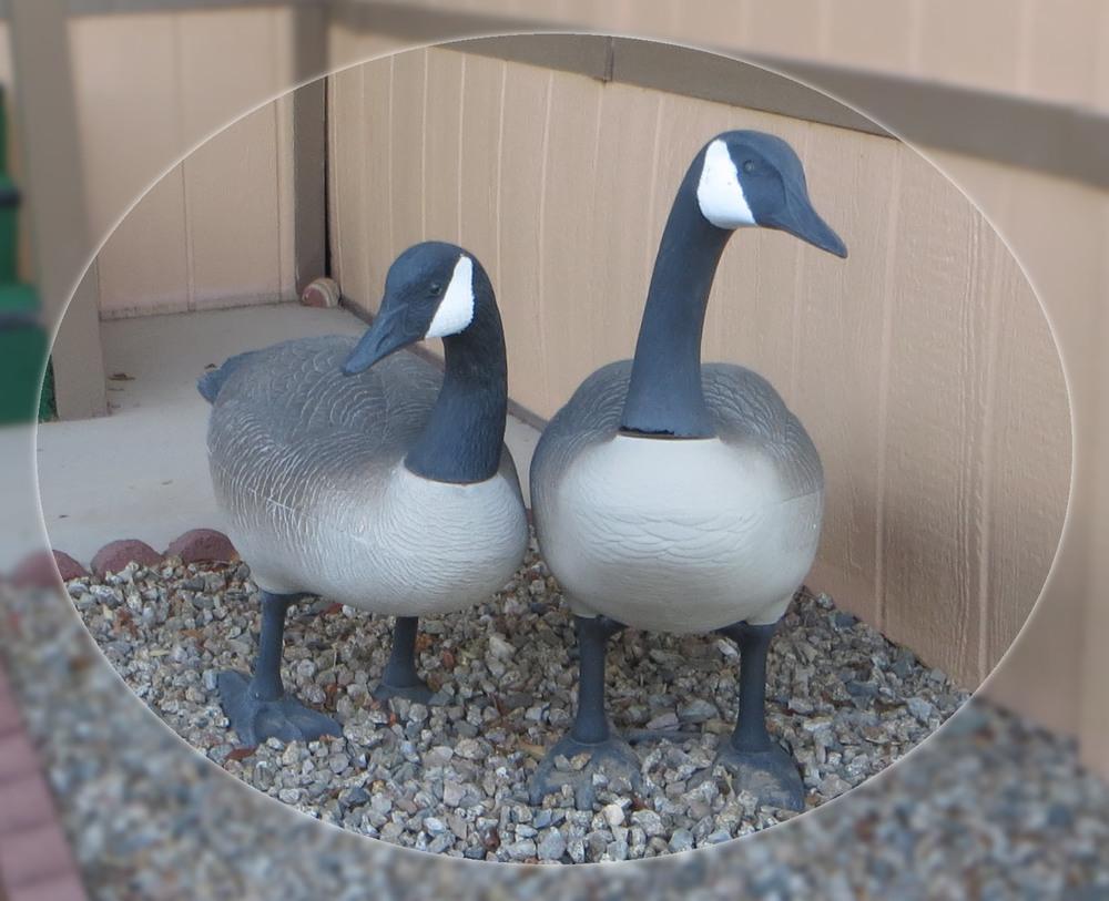 Ducks-1131.jpg