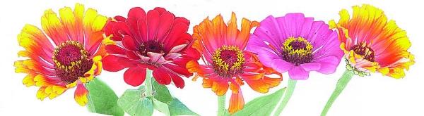 zinnia-flower-banner_ret.jpg