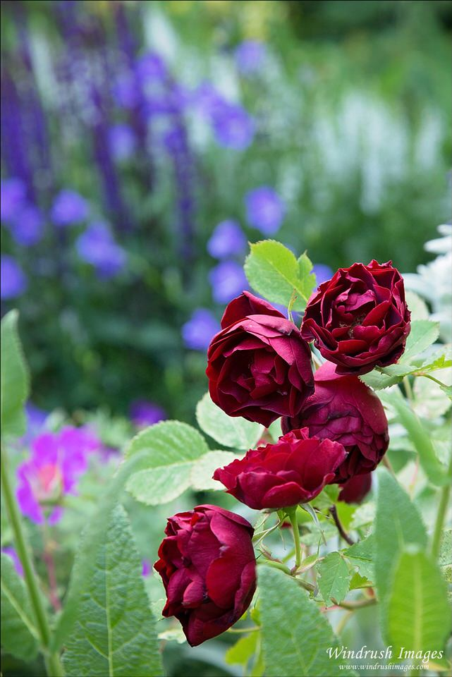 Red-roses-growing-in-Calgary-city-garden.jpg