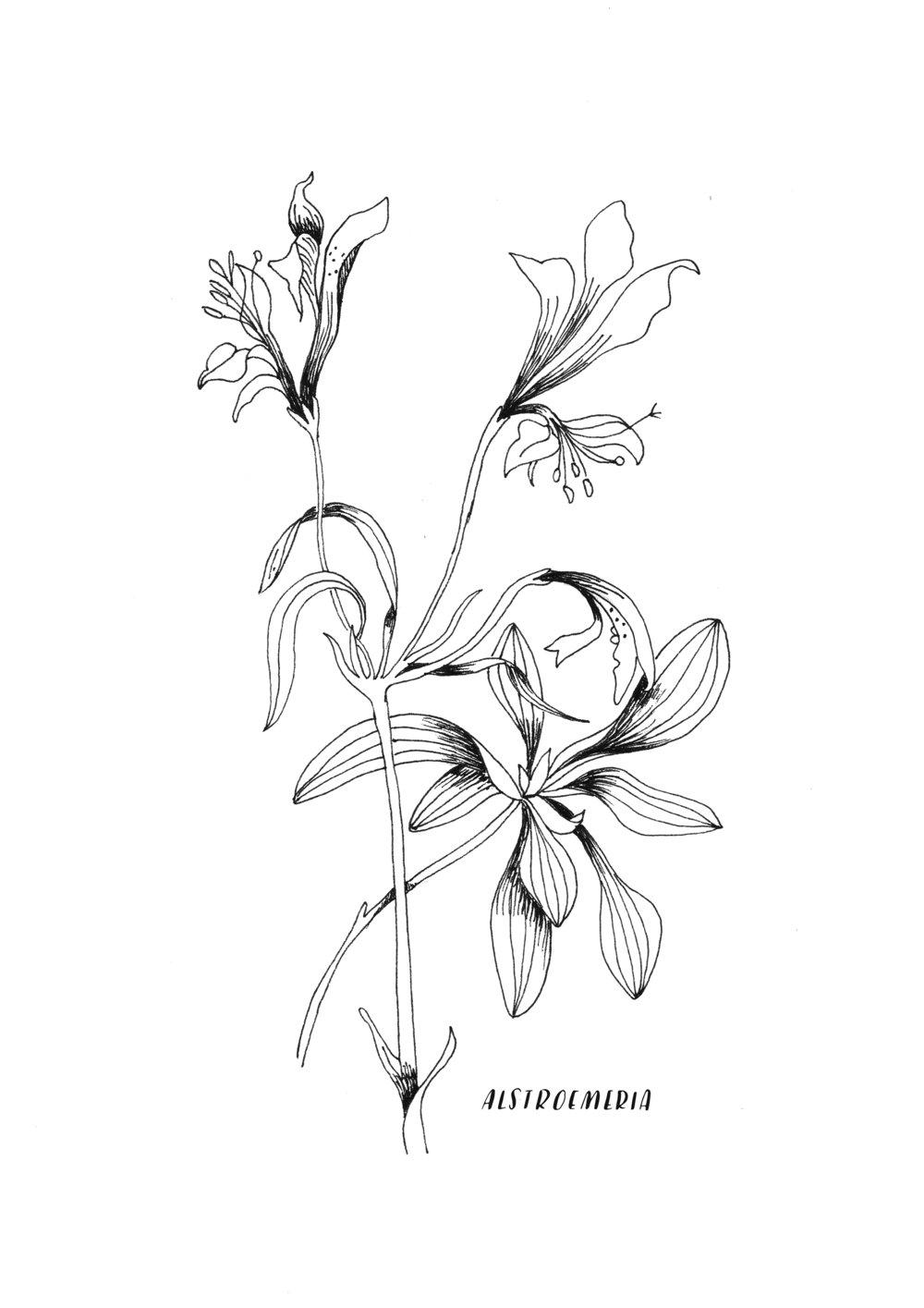 A4 ORIGINAL Alstroemeria.jpg