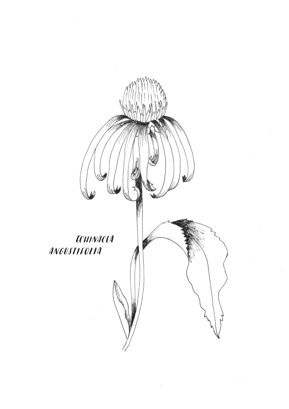 A4 ORIGINAL Echinacea Angustifolia.jpg
