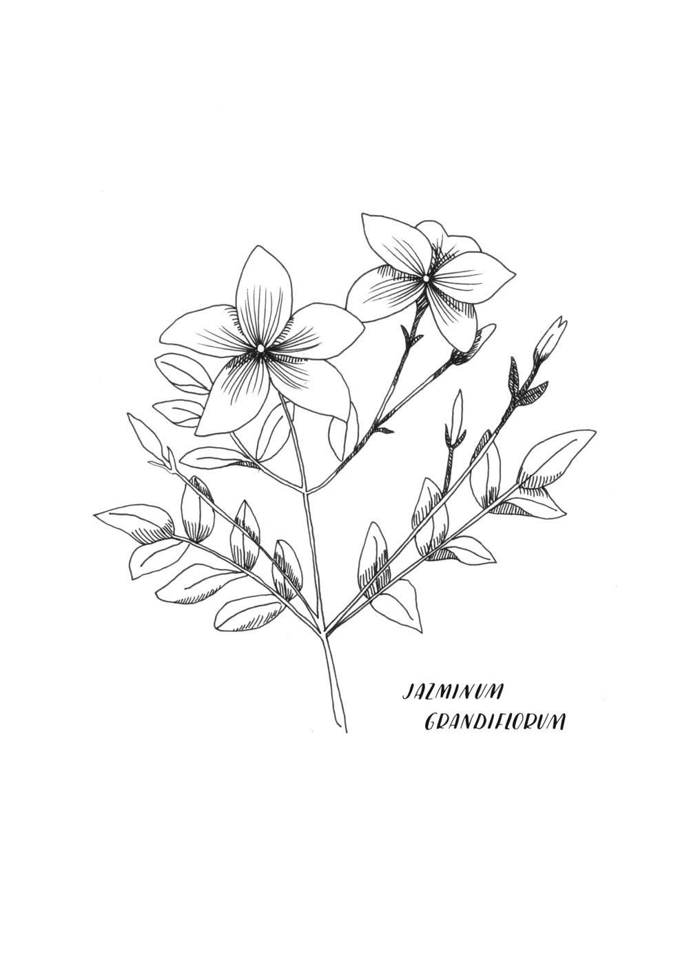 A4 ORIGINAL Jazminum Grandiflorum.jpg