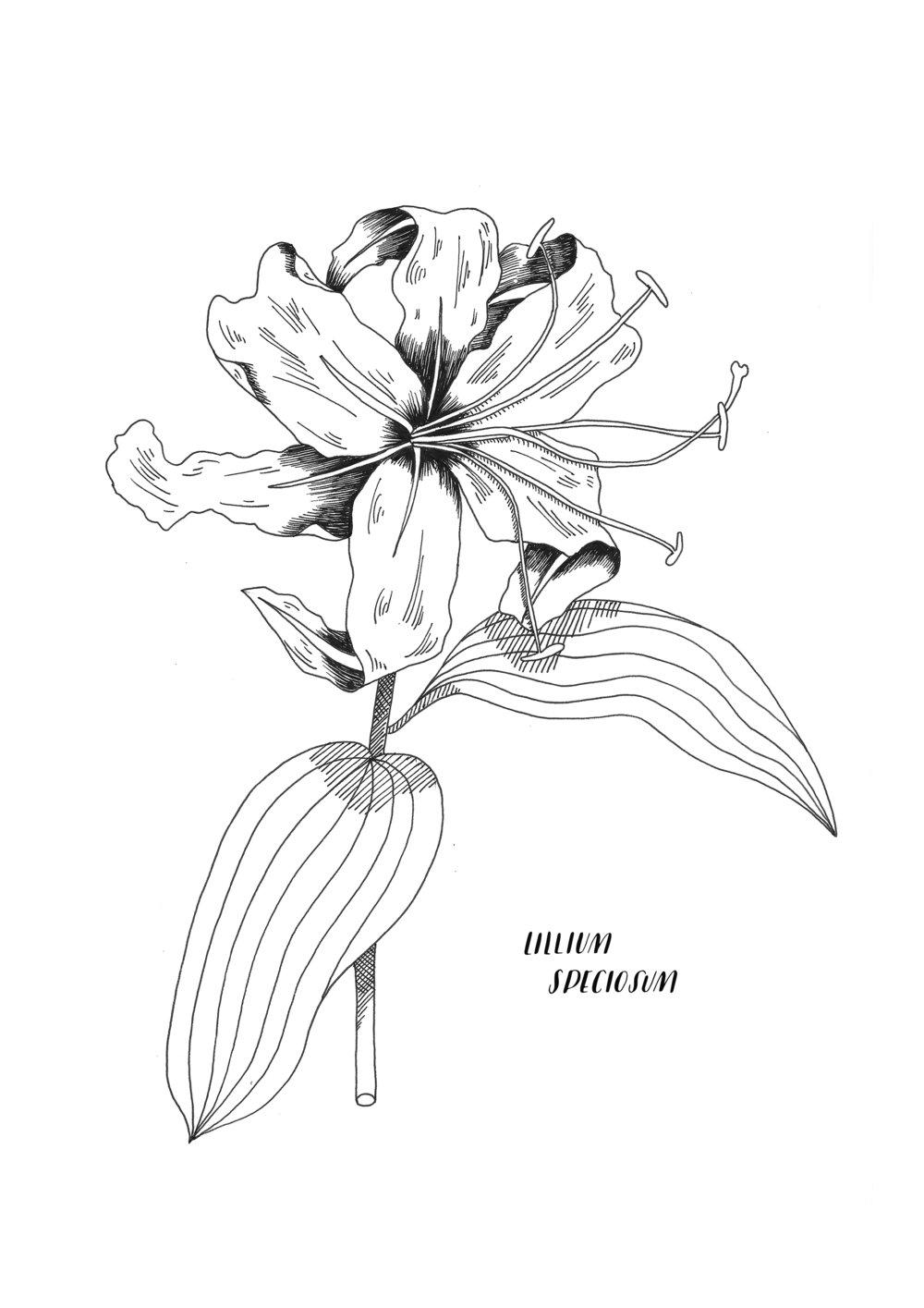 A4 ORIGINAL LilliumSpeciosum.jpg
