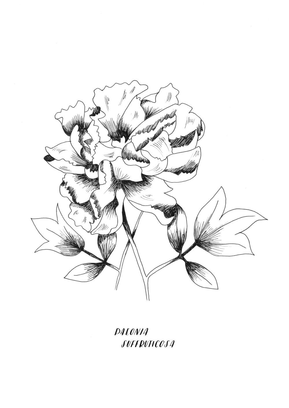 A4 ORIGINAL Paeonia Suffruticosa.jpg