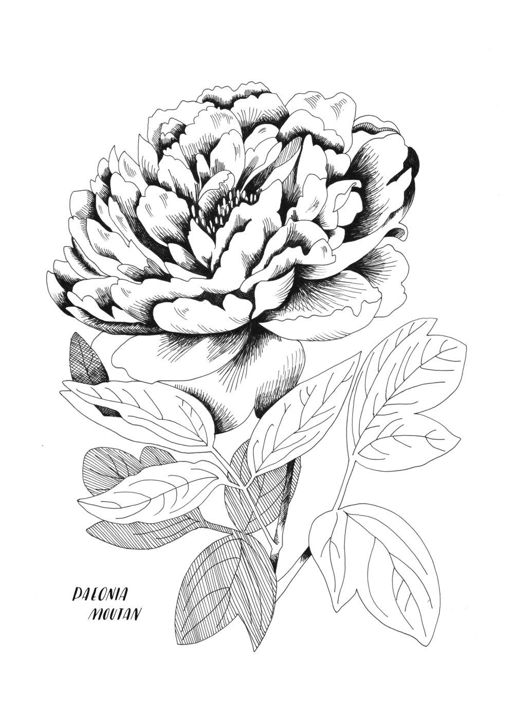 A4 ORIGINAL Peonia grande.jpg