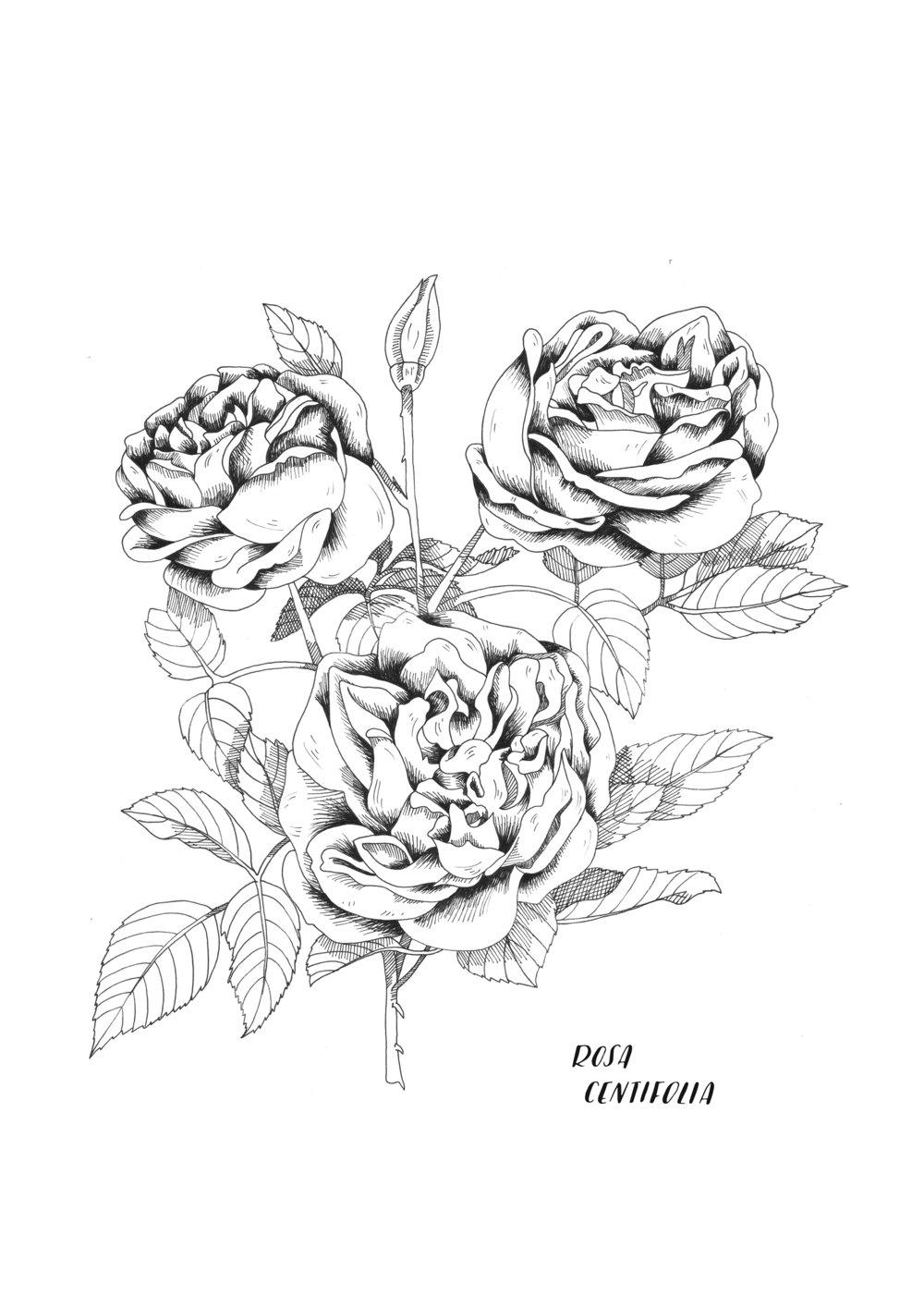 A4 ORIGINAL Rosas Centrifolia.jpg