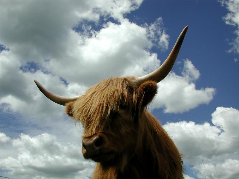 cows0335 1320-L.jpg
