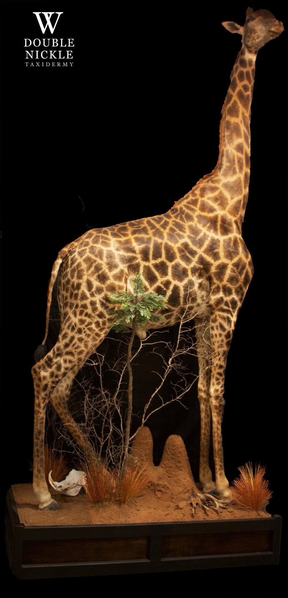 giraffe13.jpg