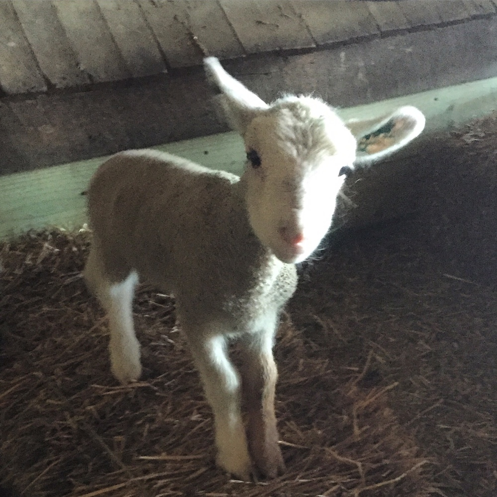 One of the lambs in the nursery.