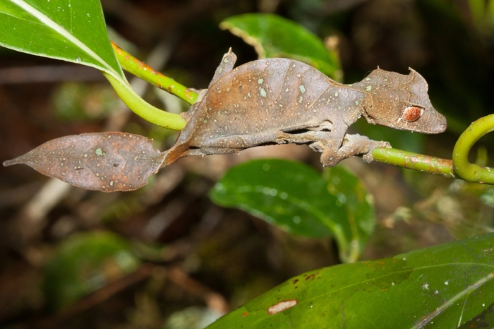The Leaf-tailed Gecko is an incredible example of camouflage. This picture doesn't quite get it at it's best, so I encourage you to do a quick search on your own to see how well it blends in under ideal circumstances. Photo by Michael Sale