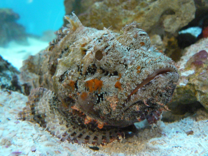 Stonefish are unique in that they don't necessarily need to match their surroundings. They can be a little stone island in a sea of sand if they want. Photo by ~Sage~