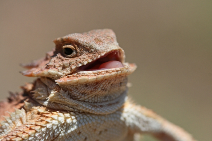 Bonus picture of Howard the Horney Toad. I'd seen this picture before and rediscovered it while browsing for Horny Toad pictures to use.I didn't know it originated on Flickr! Photo by Casey Myers