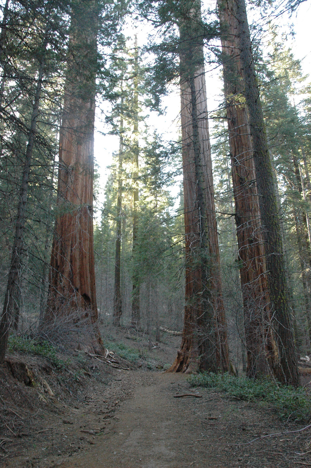 Sequoia Forest, CA