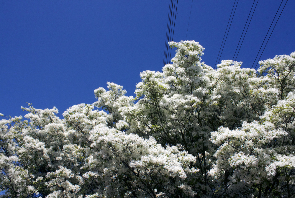 whitecherryblossoms.jpg