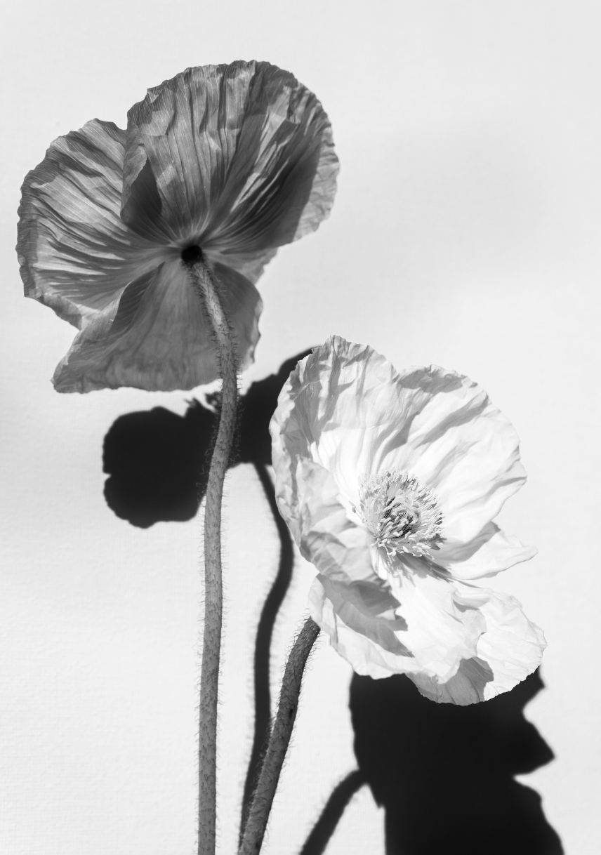 Poppies II