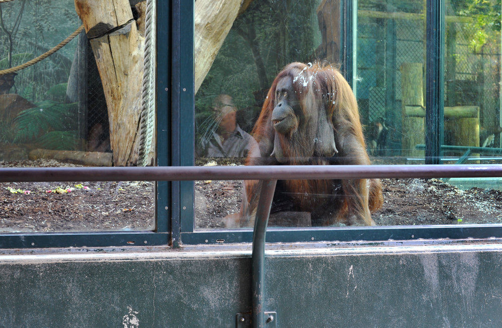orangatange and man.jpg