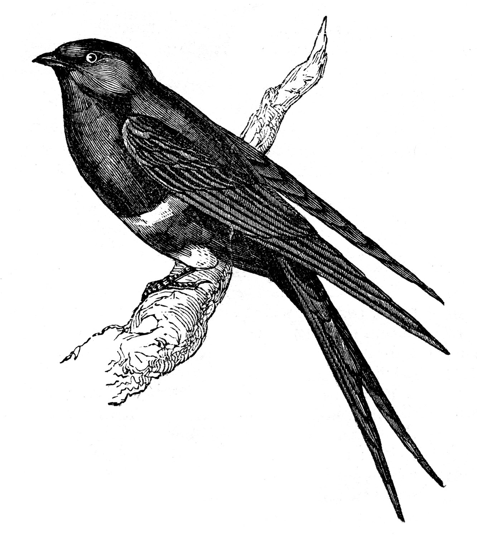 Vintage-Swallow-Bird-GraphicsFairy