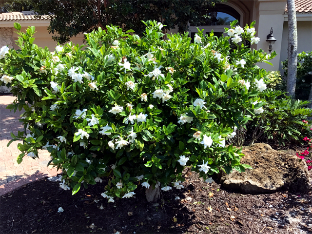 Pattis garden blog shell islands garden club here it is my big gardenia bush is just getting started blooming soon it will be covered in all white flowers i have had it since 1964 when my dad gave mightylinksfo
