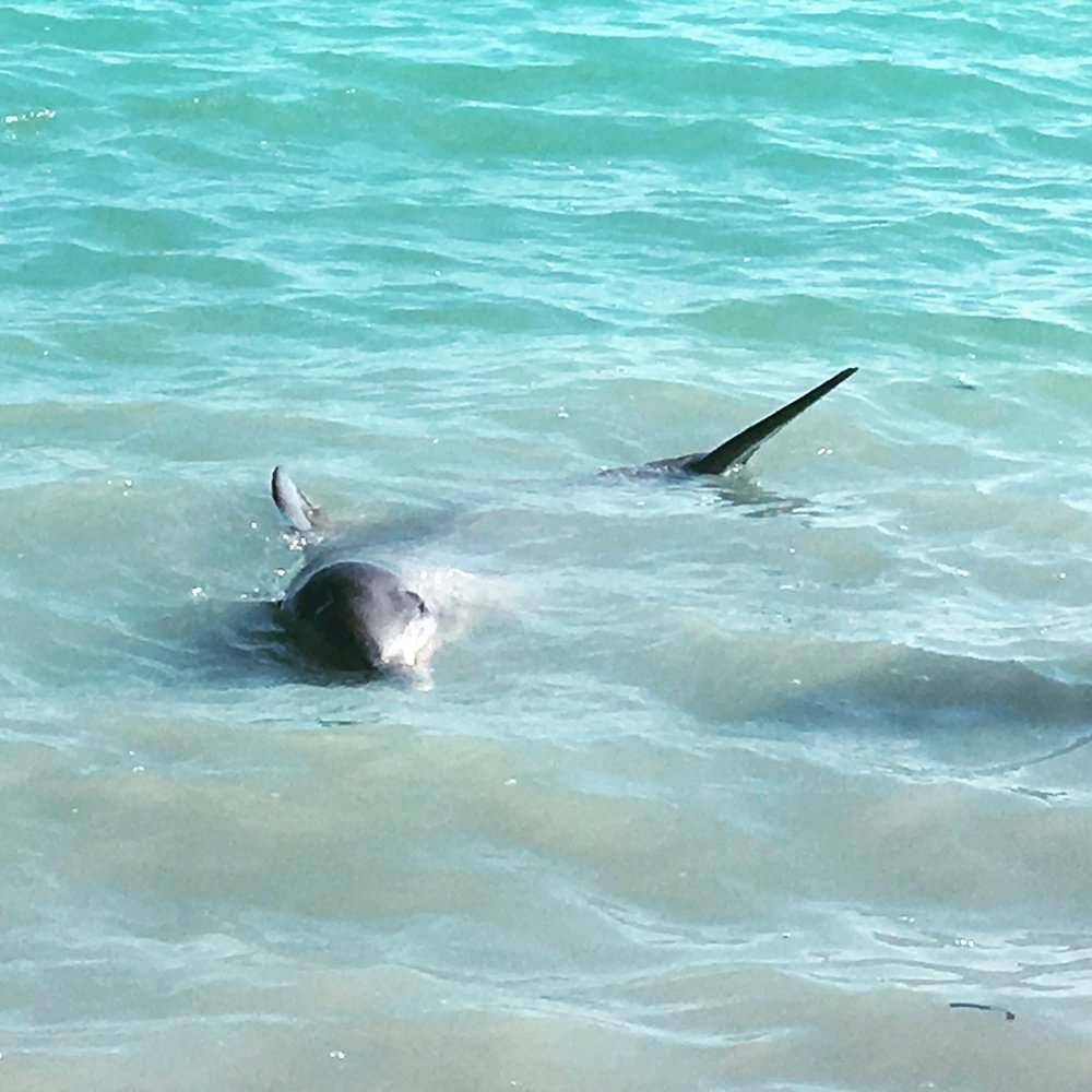 One of the lovely Dolphins, playing in the shallows.