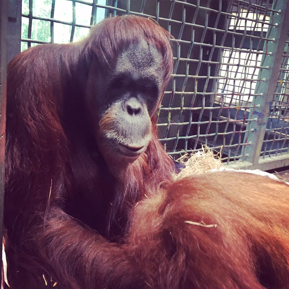 We loved the Orang-utans at the zoo- we would love to do some conservation work with these beautiful creatures in Borneo but it costs a fortune. Another trip, maybe.