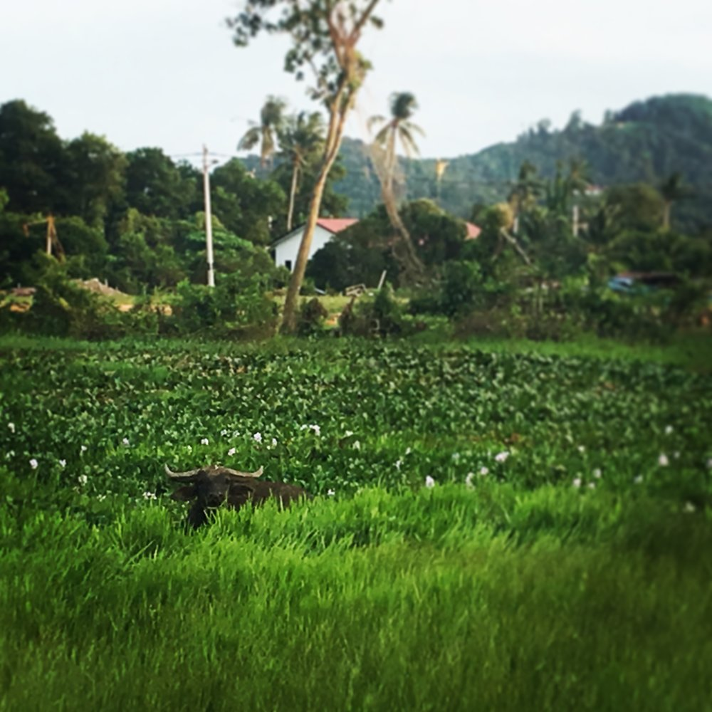 View from our restaurant. This water buffalo was here every day.