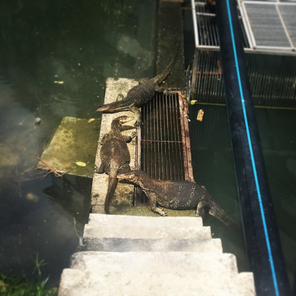 Water Monitor Lizards, round the corner from our apartment at Batu Ferringhi. They were our neighbours and we popped by to see them everyday.