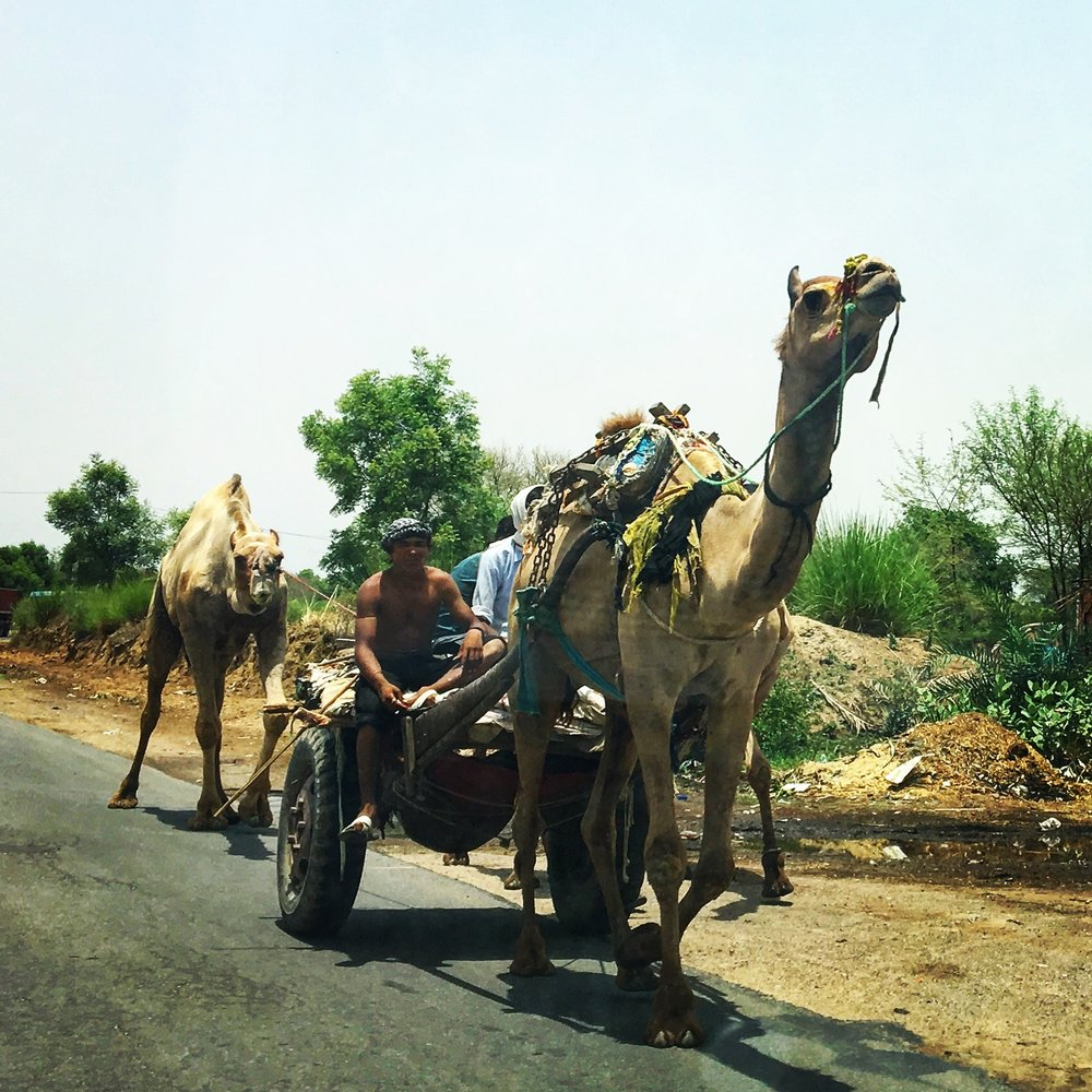 Camels are used on the road everywhere! So funny for us to see- so normal to everyone else!