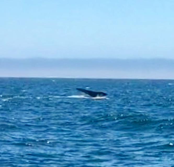 Humpback Whale, Santa Cruz.
