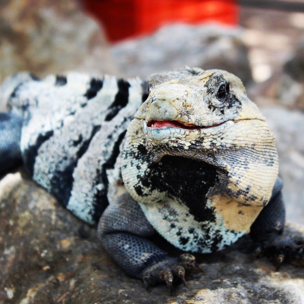 Friendly Iguana at Chichen Itza.