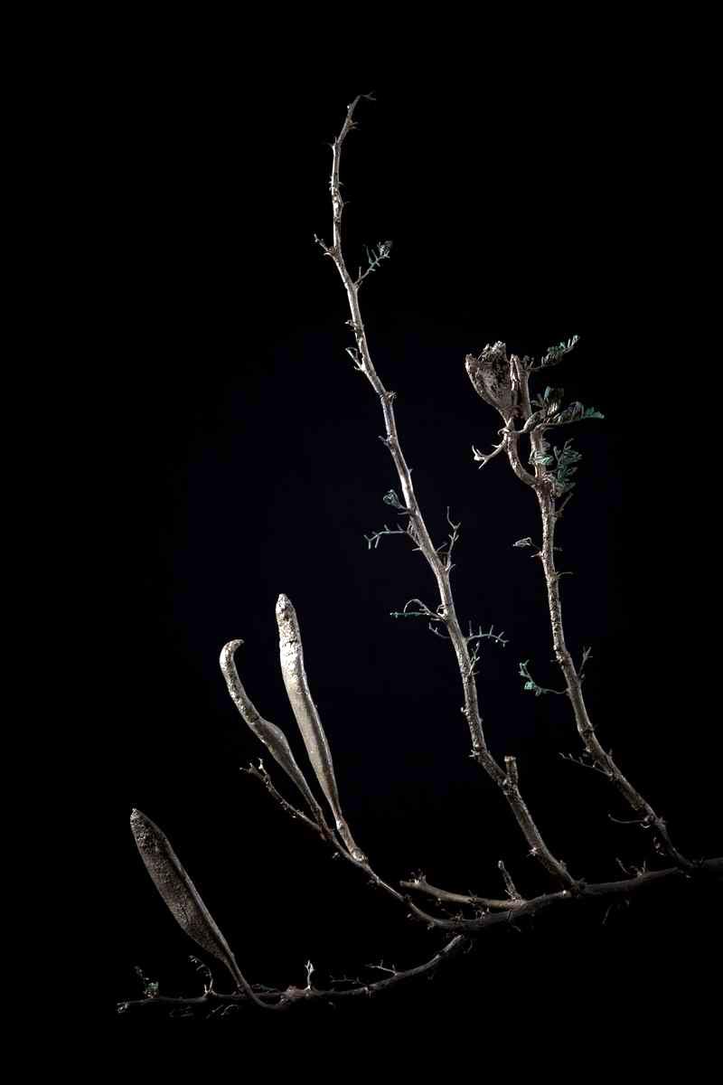 NicBladen_Botanicals_Candle  Thorn, Trassiebos, Mogoka-021.jpg
