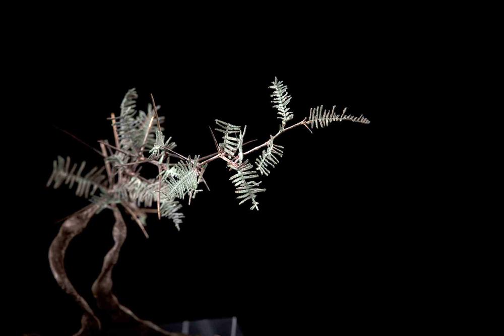 NicBladen_Botanicals_Grey Camel Thorn, Vaalkameeldoring Mokholo-322.jpg