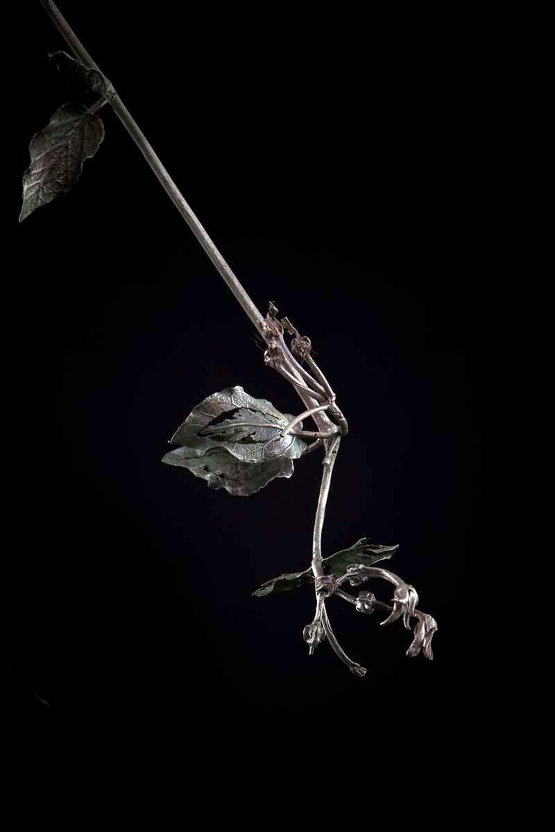 NicBladen_Botanicals_Jasmine Creeper, Sandmelktou-216.jpg