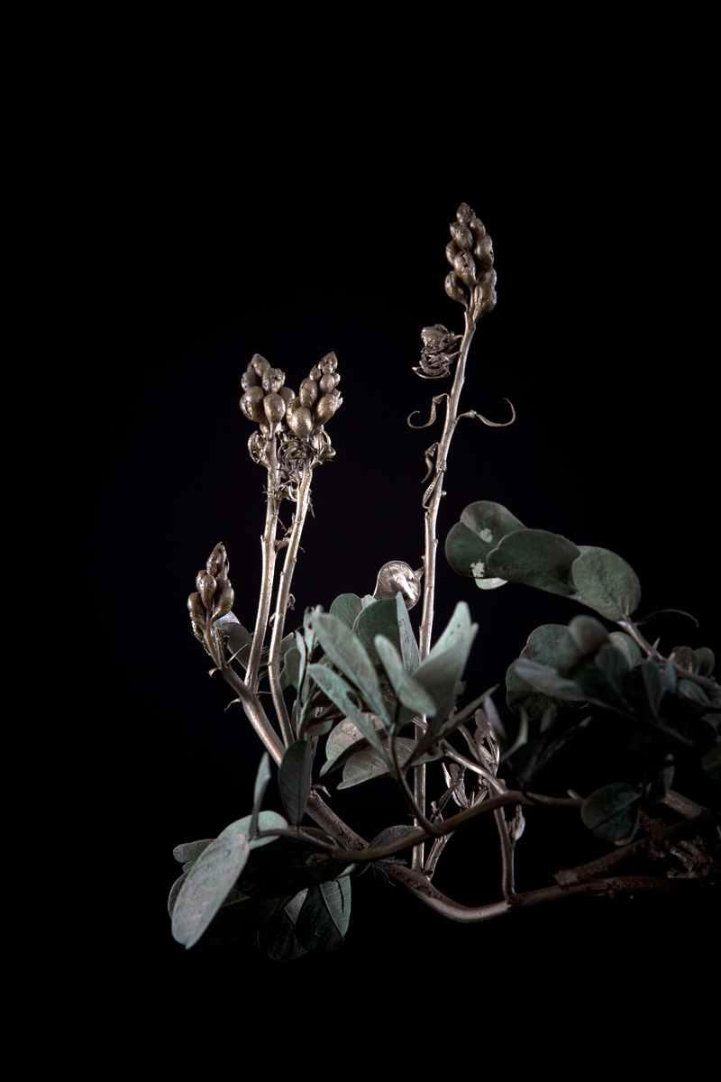 NicBladen_Botanicals_Wild Senna, Swartstorm, Sebete -245.jpg