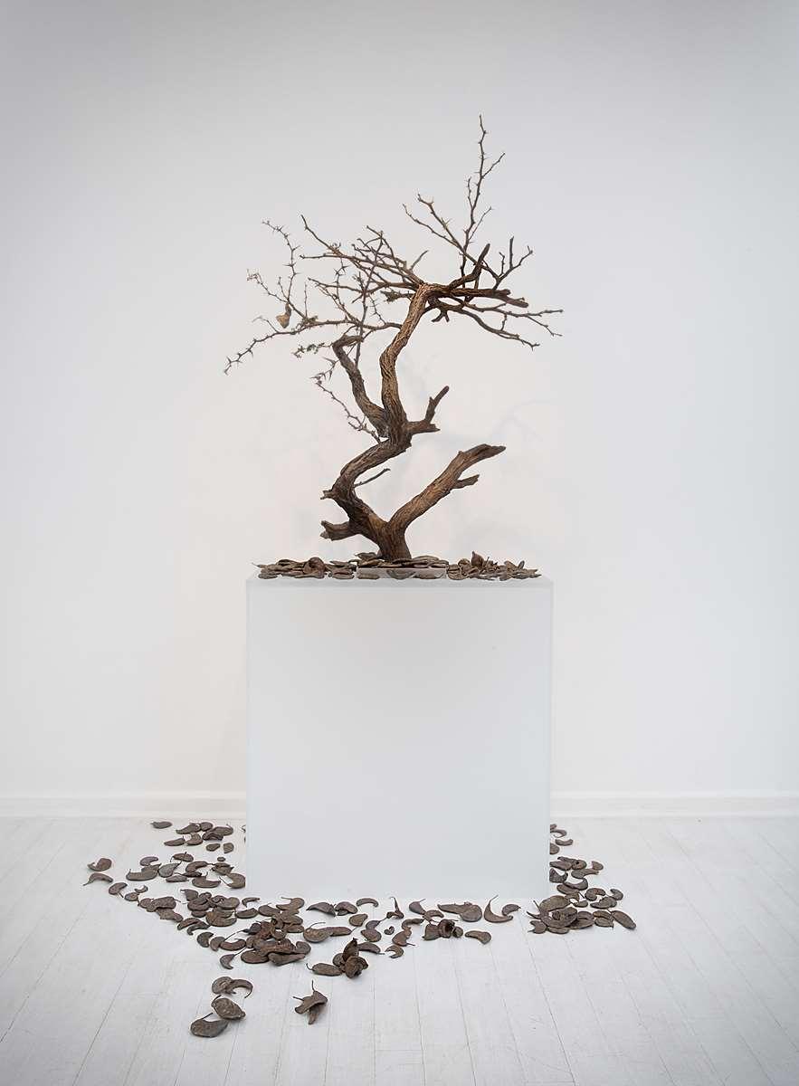 <i>Acacia erioloba II</i> (Tswalu)
