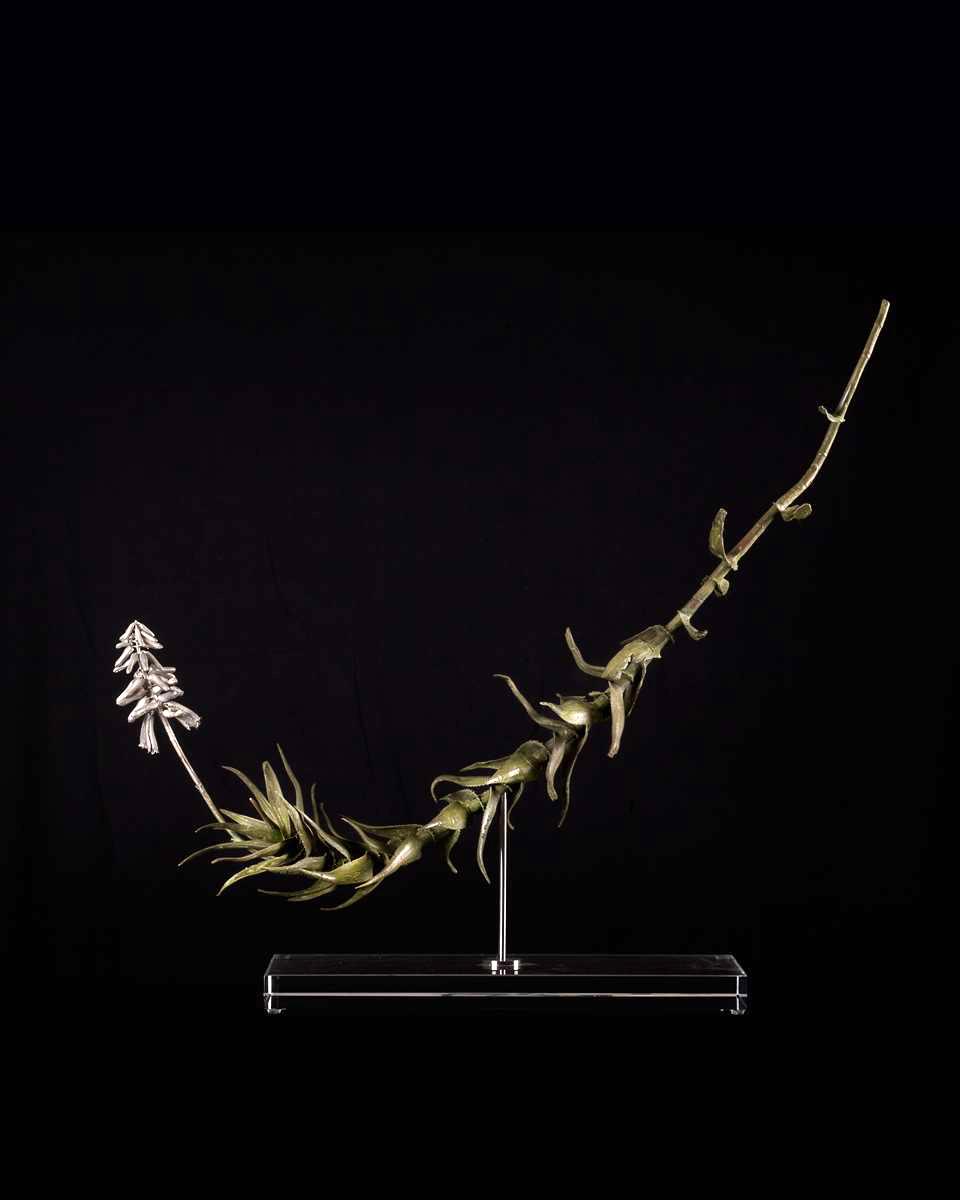 <i>Aloe ciliaris</i>