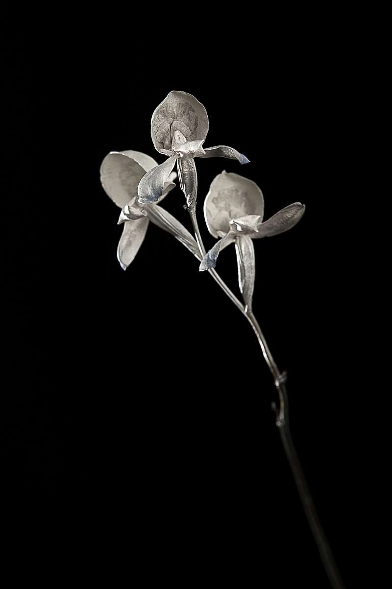 <i>Disa graminifolia</i>