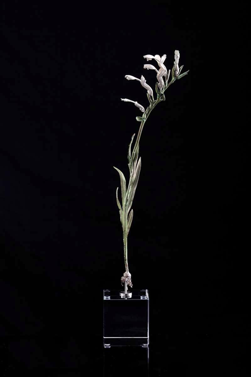 <i>Gladiolus cunonius </i>