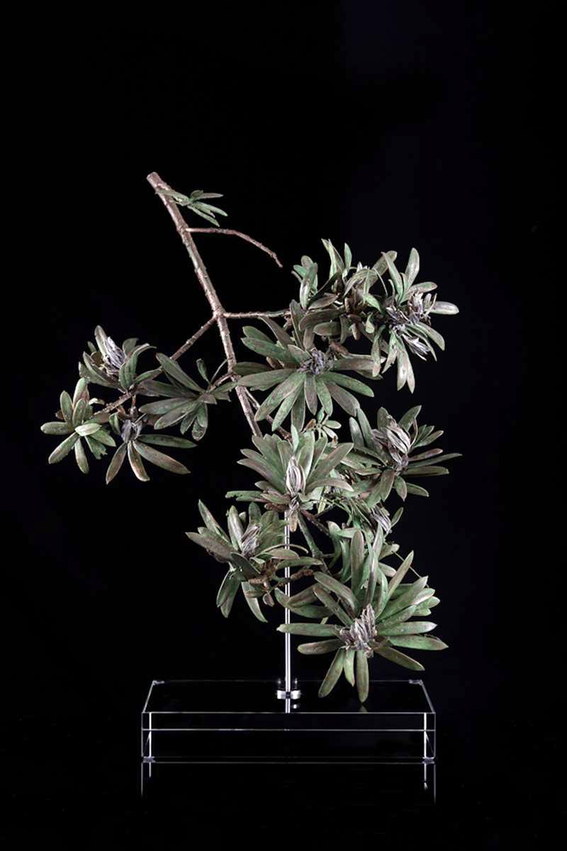 <i>Podocarpus latifolius </i>