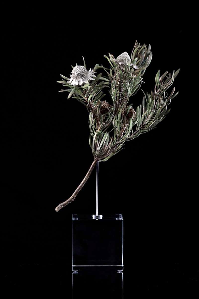 <i>Protea scolymocephala</i>