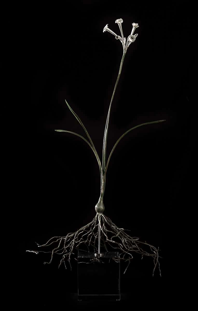 <i> Cyrtanthus mackenii </i>