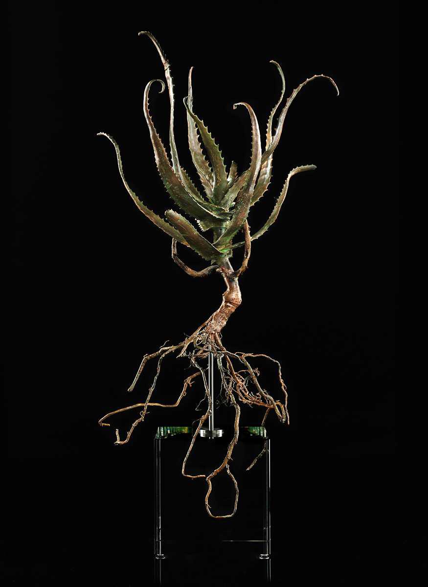 <i>Aloe pluridens</i>